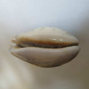 Himbebe or cowry from the northern shore of Socotra - 1970s